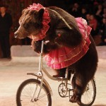 "A bear rides a bicycle during a show presenting the new program ""From Heart to Heart"" at the National circus in the Ukrainian capital Kiev"