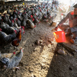 CHINA REPORTS NEW CASES OF H7N9 AVIAN FLU